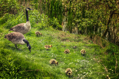 Baby goose chick in the wild photo