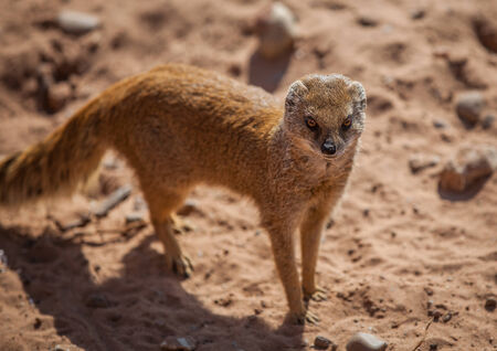 Yellow mongoose with sand background photo