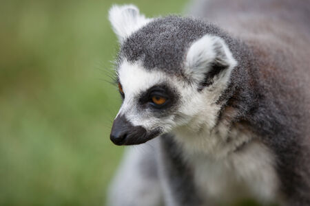 ring tailed: Portrait of a ring tailed lemur