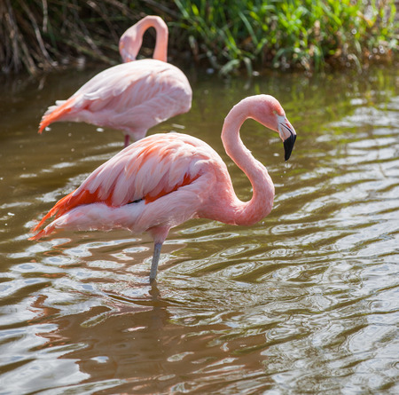 wading: Two flamingos wading in the river