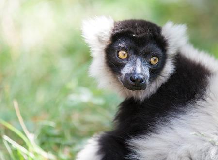 Noir et blanc lémurien huppée Banque d'images - 30655721