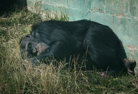chimpanzee asleep in the grass photo