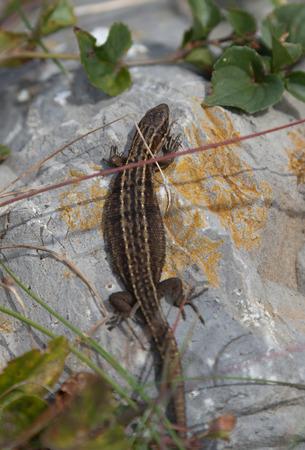 viviparous lizard: Wild common lizard at holyhead