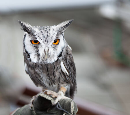 faced: Southern white faced owl perched
