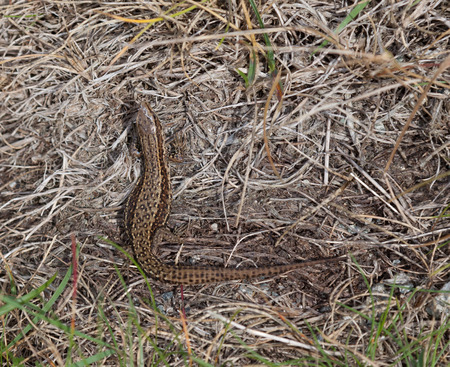 Wild common lizard at holyhead photo