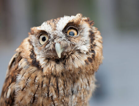 athene: head shot of a little  owl, which is blind in one eye