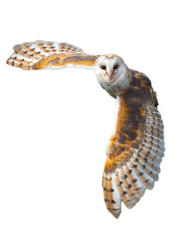 国側飛行のメンフクロウ