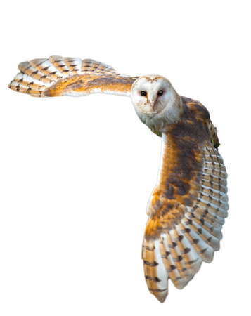 bird watching: Barn owl in the country side flying Stock Photo