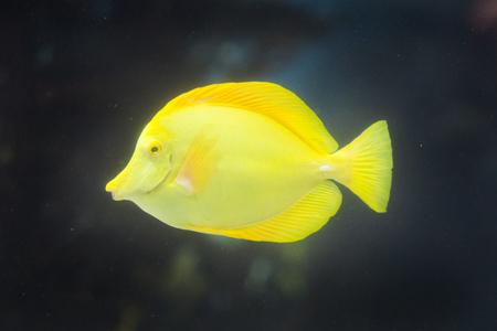 yellow tang: Yellow Tang fish underwater Stock Photo