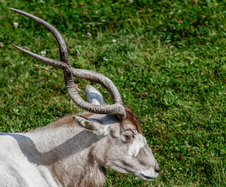 nature reserves of israel: Addax with long twisty horns