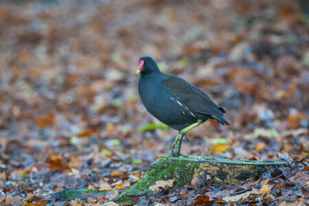 Moor hen looking for food in autumn forest photo