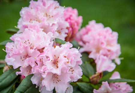 Pink rhododendron, in flower shot