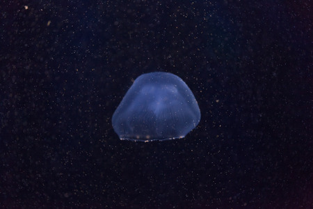 jelly fish: Jelly fish in the Ocean