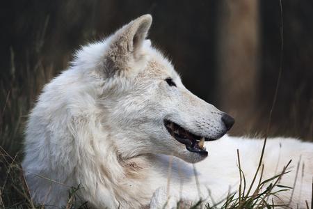 wolf eyes: White wolf close up head shot