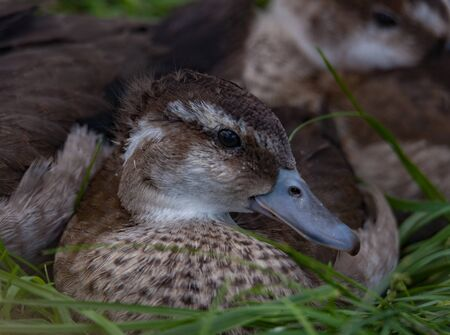 snuggling: Young duck snuggling with siblings