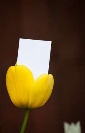 emerging: Blank business crd emerging from a tulip Stock Photo