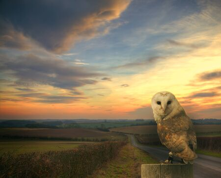 country side: Barn owl in the country side Stock Photo