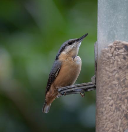 bird feeder: Nut hatch at bird feeder