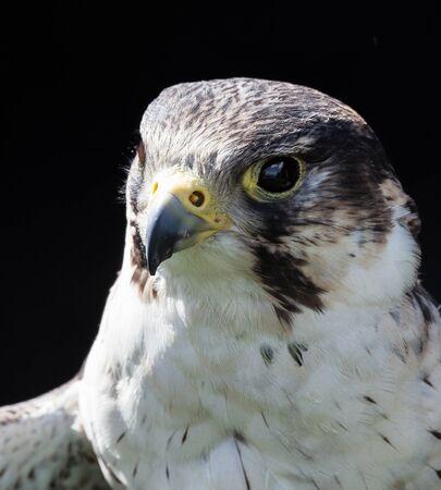 falco peregrinus: perigrine falcon close up