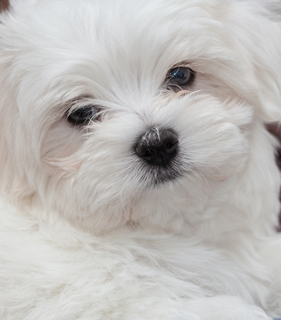 maltese: Very cute Maltese Puppy 10 weeks old, from champion parents