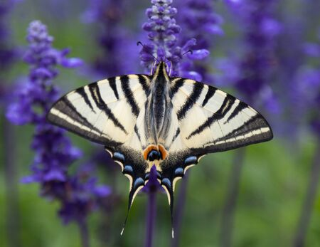 asterids: Butterfly on lavender