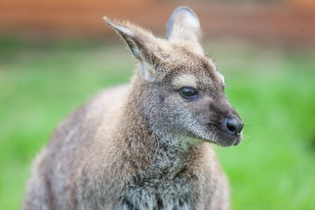 head shot of a wallaby
