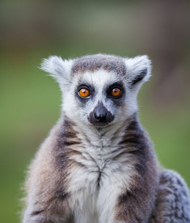 monkies: black and white lemur head shot