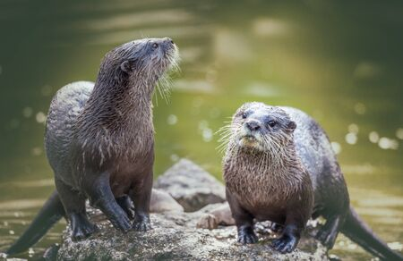aonyx: Otter playing in the water