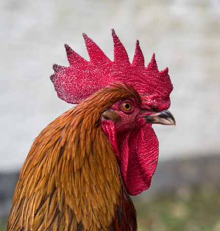 A cockerel portrait head shot