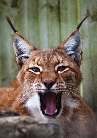 Siberian lynx  head shot Stock Photo