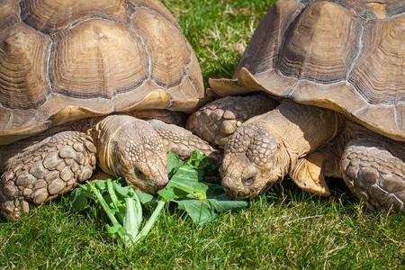 slowly: Tortoise eating grass Stock Photo