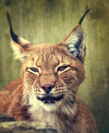 siberian: Siberian lynx  head shot Stock Photo