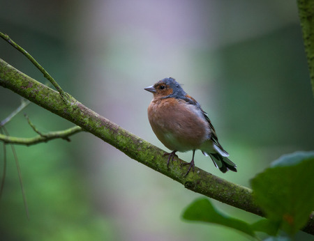 Chaffinch perched in a tree