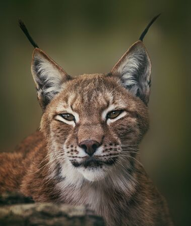 Siberian lynx  head shot Stock Photo
