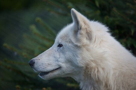 terrifying: White hudson bay wolf close up head shot