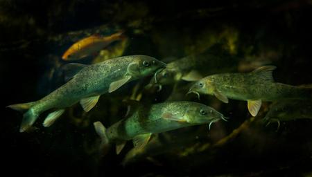Barbel pesce subacqueo su un fondo nero Archivio Fotografico - 77212606
