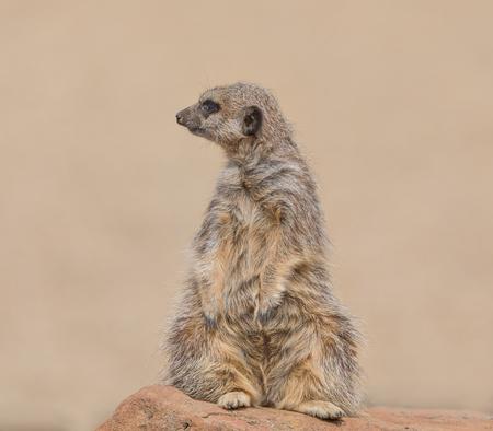 Close up of a Meerkat Stock Photo