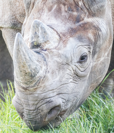 Rhino eating close up shot