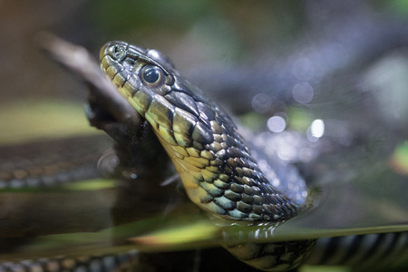 common reed: Garter Snake close up in the water Stock Photo