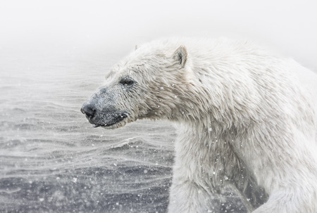 Polar bear in the summer Stock Photo