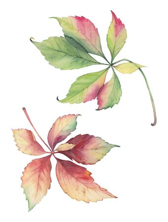 botanical illustration: Botanical illustration of decorative grape leaves. Hand drawn leaves of Parthenocissus quinquefolia. Original bright colors watercolor.