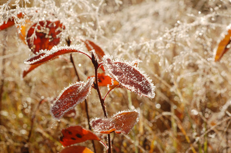 Autumn plants with red leaves covered with hoarfrost in the morning