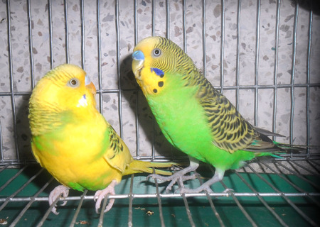 A pair of lovely budgerigars 版權商用圖片 - 32247961