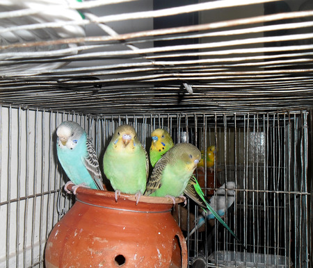A group of lovely budgerigars  photo