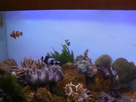 bubble sea anemone: Clownfish in a tank Stock Photo