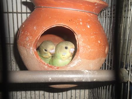 budgerigar: Budgerigar in cage
