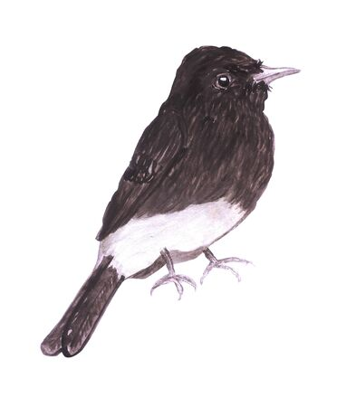 Black phoebe or Sayornis nigricans isolated on white