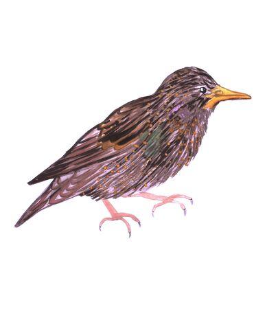 Common starling or European starling or Sturnus vulgaris isolated on white
