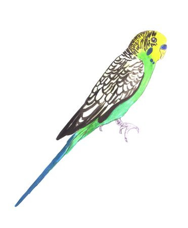 Budgerigar or Melopsittacus undulatus isolated on white