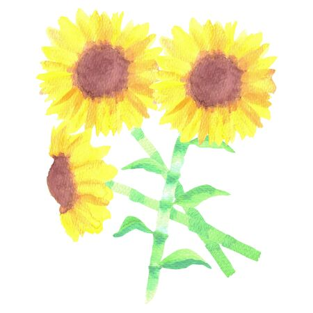 Sunflowers or Helianthus flowers watercolor floral bunch 版權商用圖片